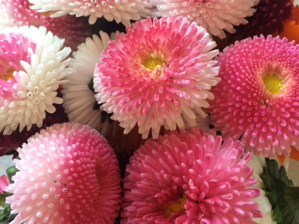 Buy bellis daisy from Maddocks Farm Organics