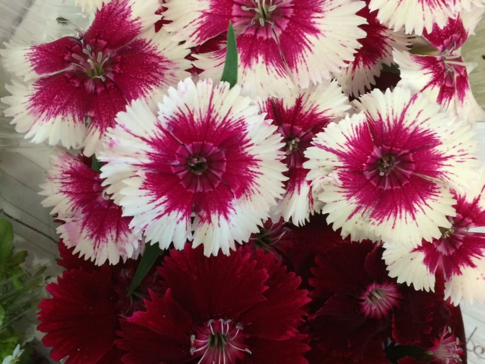Buy dianthus flowers from Maddocks Farm Organics