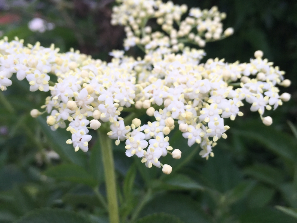 Buy elderflower flowers