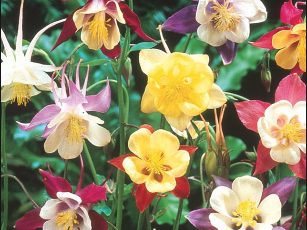 Buy aquilegia edible flowers