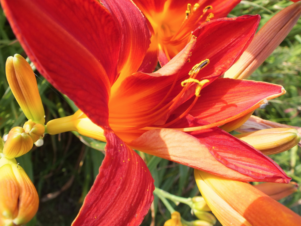 Buy Daylily flowers from Maddocks Farm Organics.