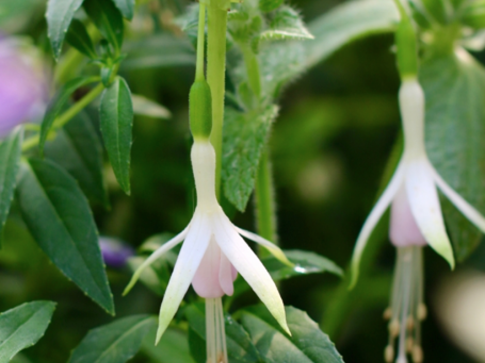 BUY FUCHSIA FLOWERS
