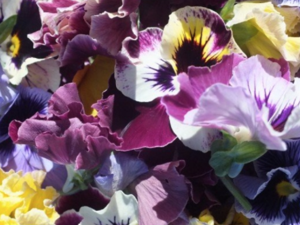 Buy pansy flowers