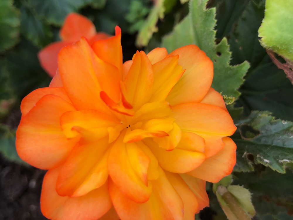 Buy begonia flowers