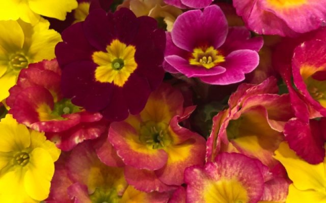 Buy primula flowers for cakes