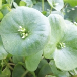 Buy organic winter purslane.