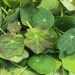Buy nasturtium leaves from Maddocks Farm Organics
