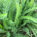 Buy organic yarrow leaves