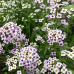 Buy sweet alyssum edible flowers