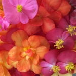 Buy begonia flowers.
