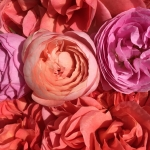 Food safe roses from Maddocks Farm Organics