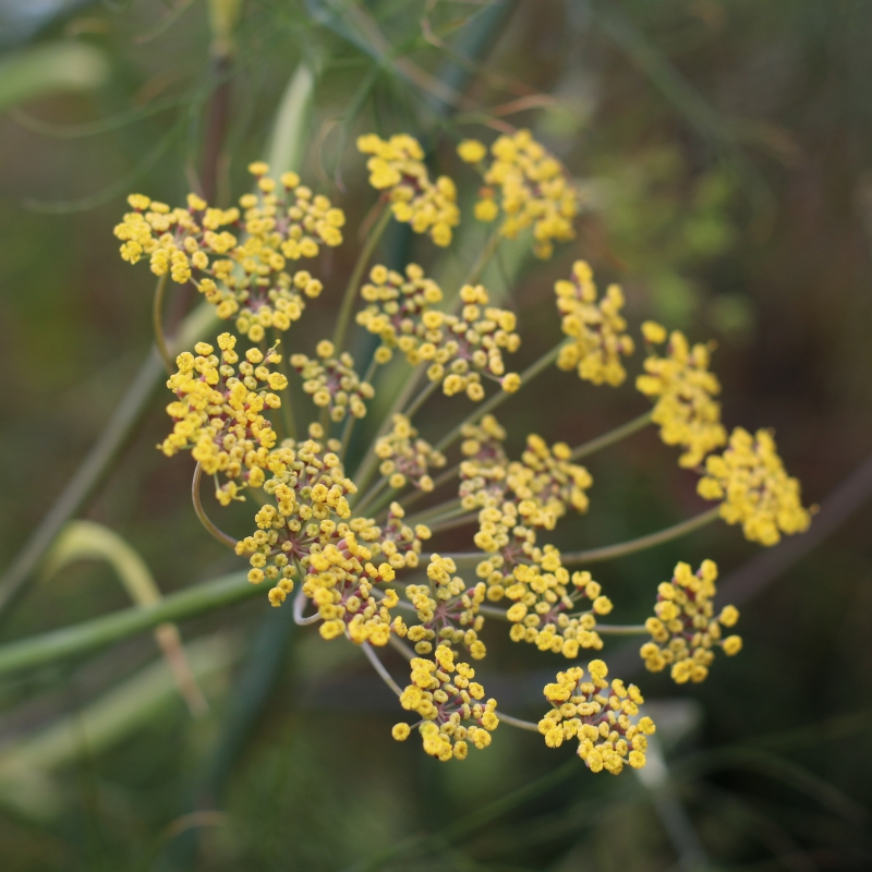 Fennel flowers for sale
