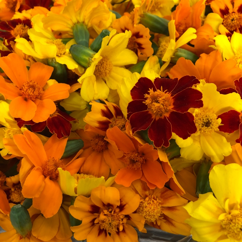 Tagetes edible flower