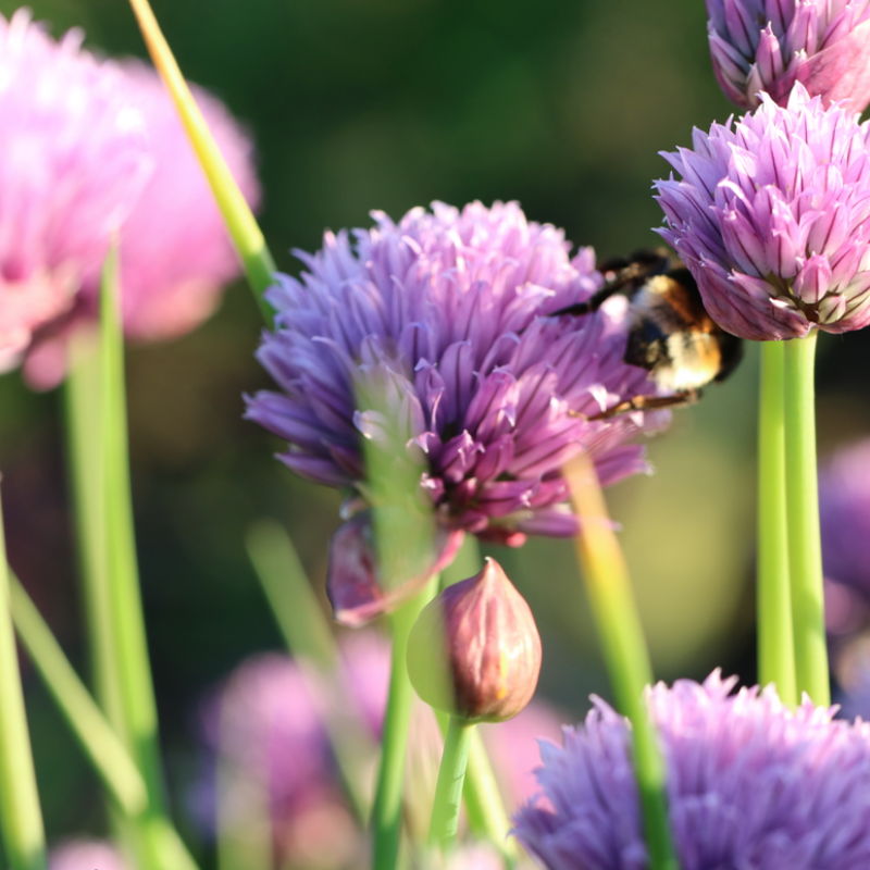 Buy organic chive flowers.