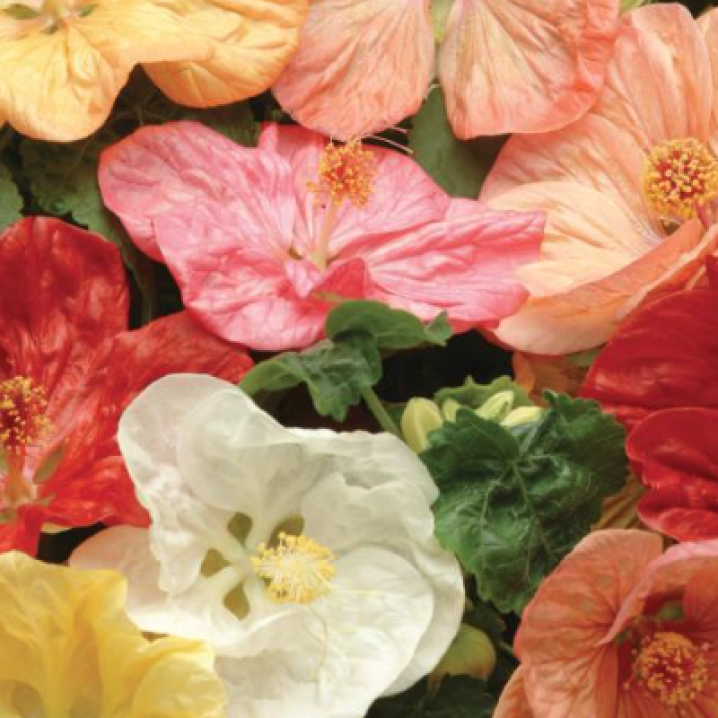Buy abutilon flowers.